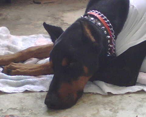 Lutz - dog hookworms, dog roundworms, dog pneumonia, dog coughing, dog malnutrition, stress, lethargic