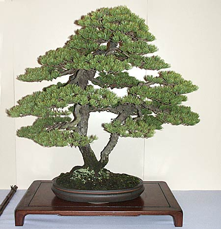Kokufu Ten Bonsai Exhibition Japanese five-needle pine