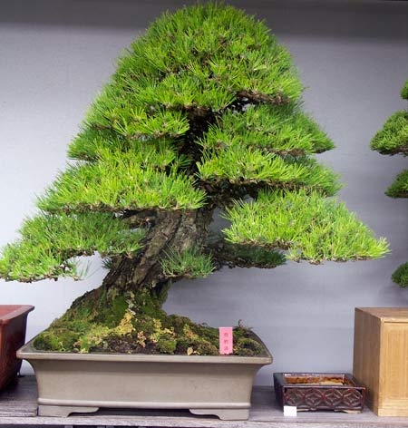 Green Club Japanese black pine for sale