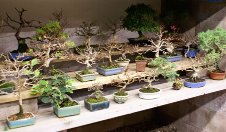 Shohin bonsai winter protection