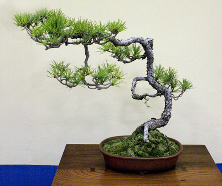 Taikan Ten Bonsai Exhibition Japanese red pine