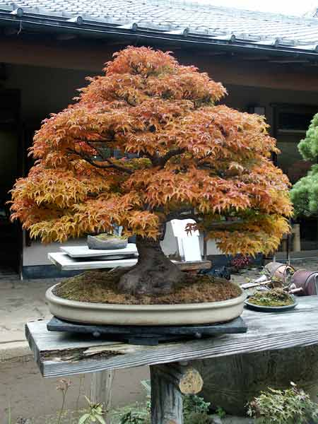 Shshigashira Japanese maple